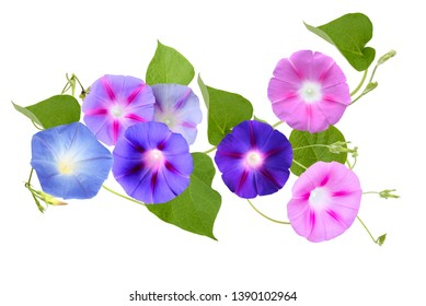 Mix colorfuf blooming ipomoea or morning glory flowers isolated white background