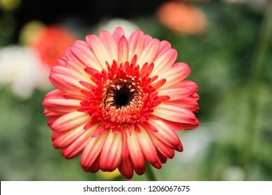 Mix Coloured Gerbera Daisy in the Wild Gardens