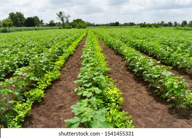 Mix crop of cotton plant (Gossypium) and Groundnut (peanuts). groundnut tree used as legumes crop and green manuare. Companion planting. Inter cropping. Crop rotation. New innovation in agriculture.