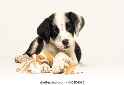 a mix dalmatian and border collie puppy is lying on pure white background