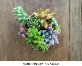 mix of echeveria succulent plants arrangement pot on wood background
