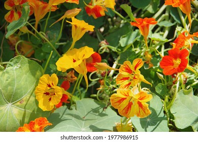 A mix of edible Capucine Dwarf Jewel Nasturtium flowers in red and yellow