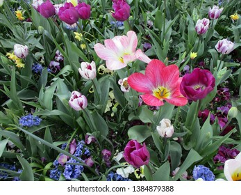 Mix of many types of tulips in bloom