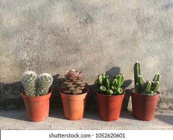 Mix mini pots of Succulent and Cactus Houseplants ,Fairy Castle, Gollum Ears, Echeveria, Sunshade Outdoor Garden Concrete Wall Background