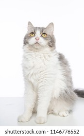 mix persian cat siting on a white table with a white background while looking up