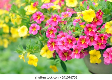 mix petunia flowers in the garden for background uses