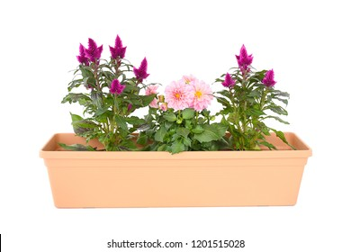 Mix Pink flower in brown long pot with  Chinese wool flower or Cockcomb plant growing in pot with flower blossom straight.  idea plant for summer garden. isolated white background, clipping path.
