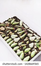 Mix of Succulent leaves with roots