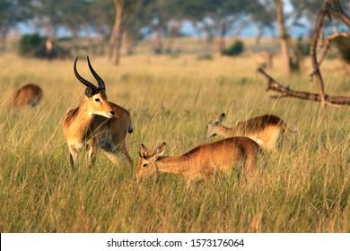 A mixed age herd of Uganda Kob graze in the mixed savannah woodland of Ishasha in the Queen Elizabeth National Park, Uganda