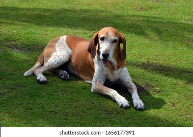 Mixed breed American-English Coonhound resting on grass in the park