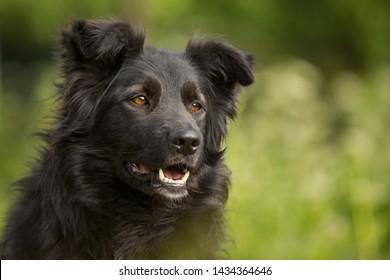 mixed breed beautiful black dog mutt ountdoor in summer