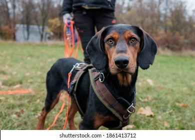 Mixed breed black dog with intense orange eyes during training on a long orange leash in a dog park. Very focused. Blurred dog coach in background.