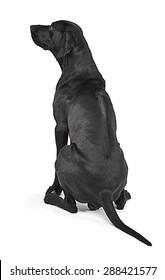 Mixed breed black dog showing his ridge back  in white studio