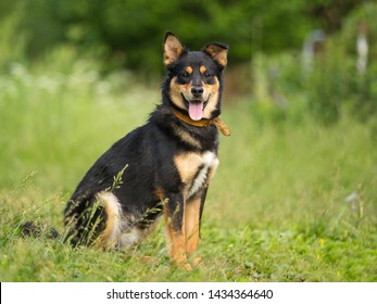 mixed breed black and tan dog mutt ountdoor in summer