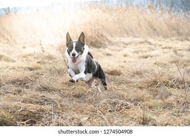 Mixed breed black and white dog outdoor in dry grass field running