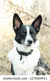 Mixed breed black and white dog outdoor in dry grass field portrait