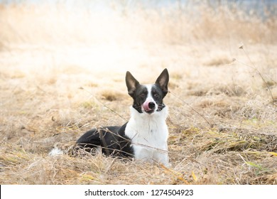 Mixed breed black and white dog outdoor in dry grass field lying and looking at camera lick itself