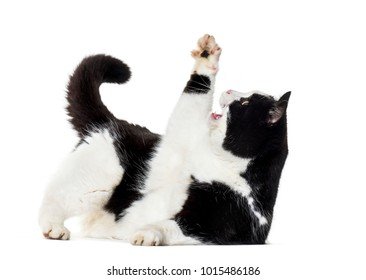 Mixed breed cat reaching up against white background
