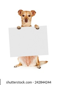 A mixed breed Chihuahua dog sitting up and holding a blank sign to enter your marketing text onto