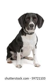 mixed breed dog (Beagle, cocker spaniel) isolated on white