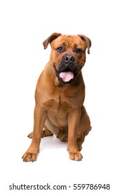 mixed breed dog , Boerboel, bull mastiff, in front of a white background
