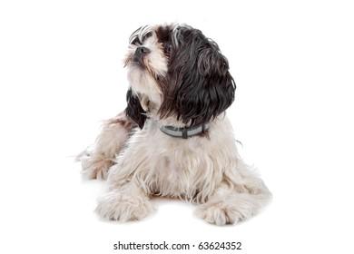 mixed breed dog (boomer) isolated on white