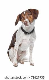 mixed breed dog, border collie / munsterlander