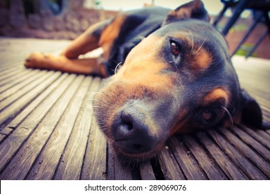 A mixed breed dog dozing on wooden deck