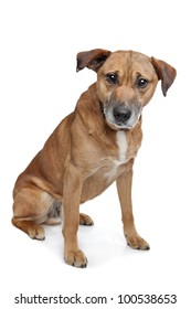 mixed breed dog in front of a white background. shepherd/Labrador
