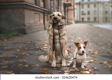 Mixed breed dog  and Jack Russell Terrier  walking in autumn park