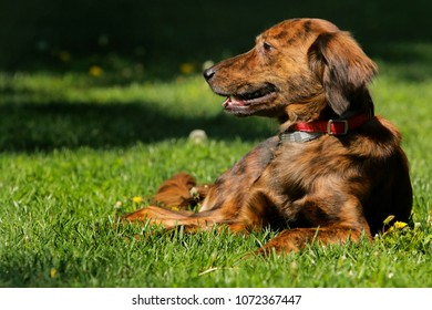 A mixed breed dog laying in the grass