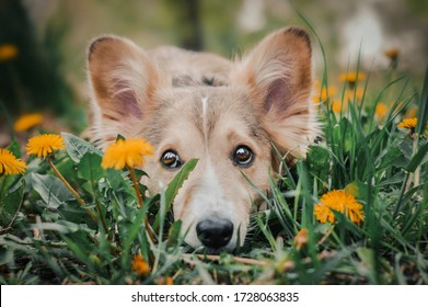 A mixed breed dog laying on the meadow with dandelions