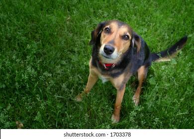Mixed breed dog looking at camera.