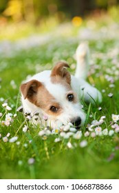 Mixed breed dog lying in a flower meadow