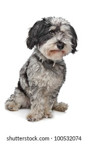 Mixed breed dog (Maltese/Terrier) in front of a white background