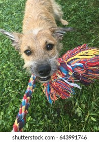 Mixed breed dog playing in the garden, grabbing and pulling his rope toy