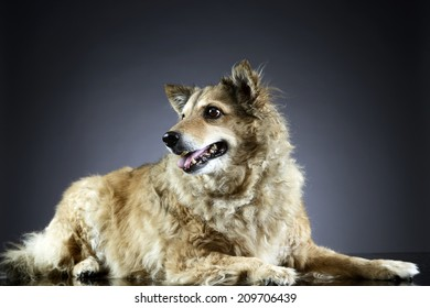 Mixed breed dog  relaxing in a dark graduated background studio