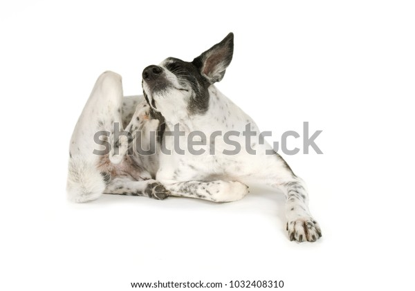 Mixed breed dog is scratching his ear