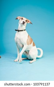 Mixed breed dog short hair brown and white isolated on light blue background. Studio shot.