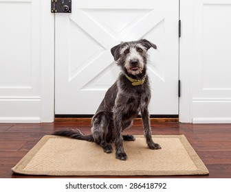 Mixed breed dog sitting in front of a door in her home waiting for a walk or for her owner ot come home