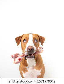 Mixed Breed Dog Sitting on White Background and Holding Raw Lamb Femur Bone
