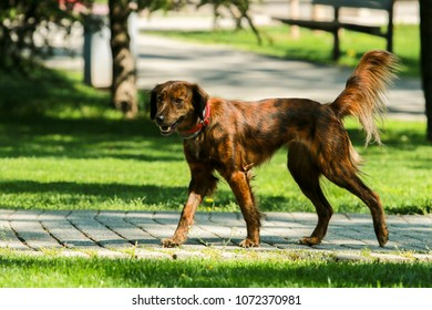 A mixed breed dog walking in the park