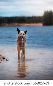 Mixed breed dog  walks in the woods, the lake, on the sandy shore
