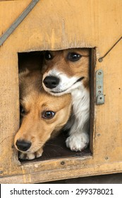 Mixed breed dogs showing out their heads from dog house wooden door