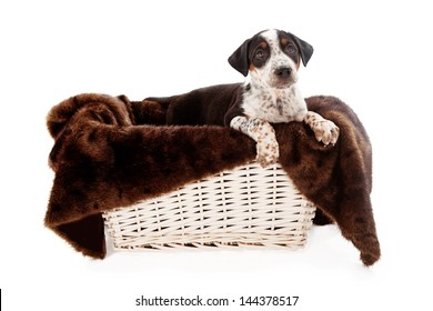 A mixed breed eight week old puppy looking up in a basket with a fur lining isolated on white