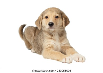 Mixed Breed Ginger Puppy Lies Isolated on White background