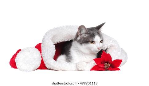 mixed breed  grey cat in a santa hat
