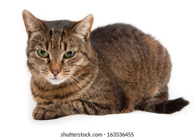 Mixed Breed Cat Hd Stock Images Shutterstock