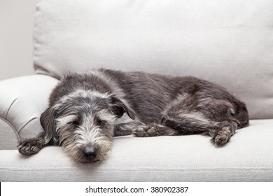 Mixed breed medium sized grey color dog laying on a neutral color couch with room for text