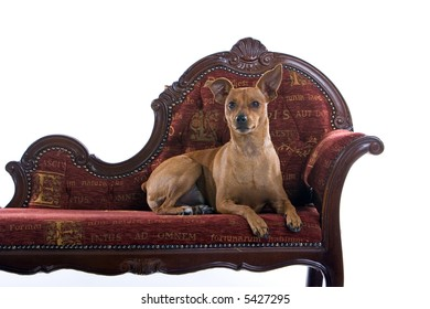 mixed breed Pinscher dog laying down on a red barok couch
